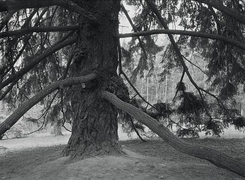 Strom z Americké zahrady v pošumavských Chudenicích, kde se abbé procházel jako vychovatel mladých Czerninů
