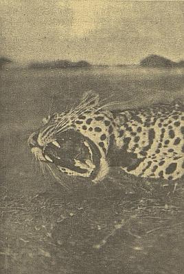 Snímek leoparda, doprovázející jeho cestopis na stránkách českobudějovického německého listu
