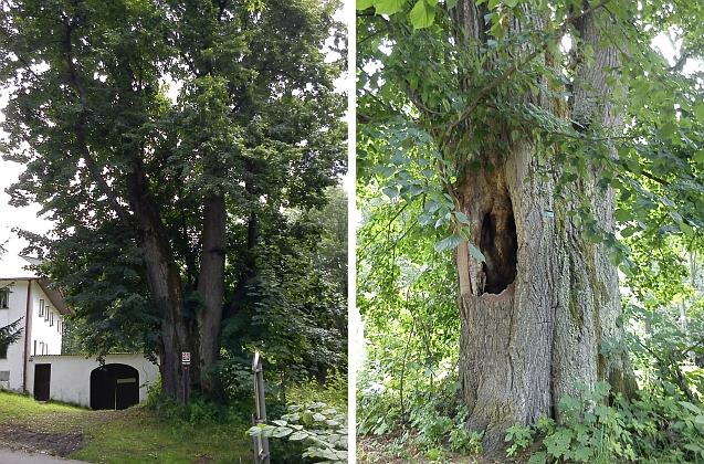 Památná lípa v Radslavi má úctyhodný obvod kmene, činí 634 centimetrů