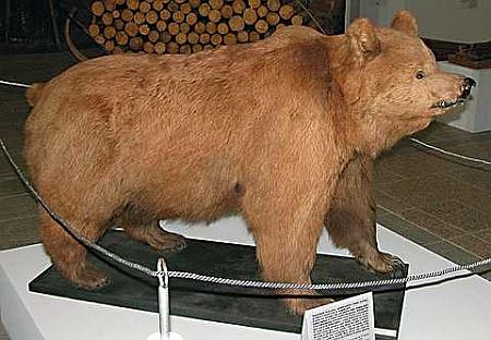 Poslední šumavský medvěd (přesněji medvědice) je dodnes k vidění vycpaný v expozici v lovecké zámku Ohrada u Hluboké nad Vltavou