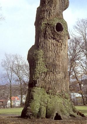 Detail spodní části kmene Körnerova dubu v parku dalovického zámečku - obvod kmene měří 857cm