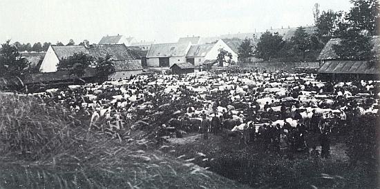 Dobytčí trh v Kaplici roku 1907...