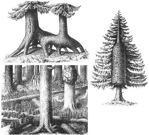 Tři kresby, kterými vratislavský lékárník Müncke doprovodil zprávu Juliuse Göpperta (1800-1884) o pralese na Boubíně