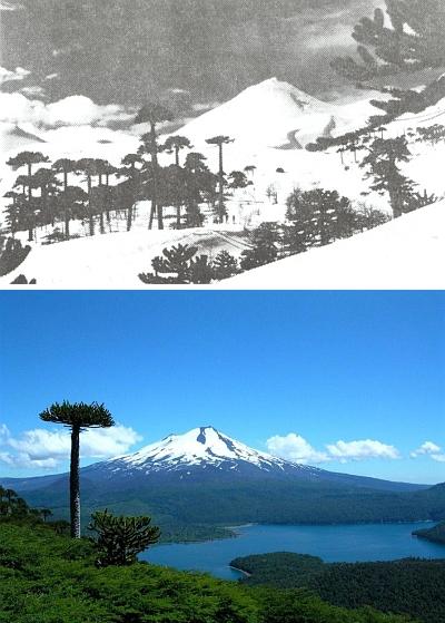 """Lyžařský ráj při sopce Llaima (3060 m) na jihu Chile saraukáriemi v popředí, zvanými také """"paraguas"""", tj.deštníky"""