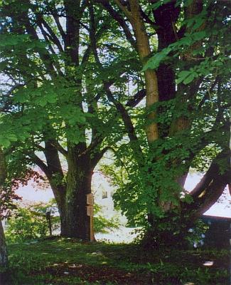 Lípy v jeho Zelené Lhotě (Grün)
