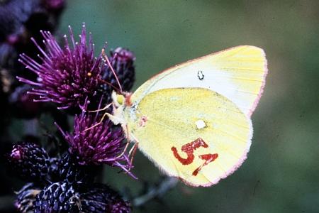Snímky z vědecké práce Dr. Kudrny: žluťásek borůvkový (Colias palaeno) na fotografii Otakara Kudrny (číslo na křídle živého motýla se používá pro zjištění pohybu jednotlivých motýlů a velikosti populace) a letecký snímek biotopu Rotes Moor v Hesensku, kde se motýl vyskytuje - původní populace v této lokalitě vyhynula a byla Otakarem Kudrnou unikátně obnovena motýly ze Šumavy