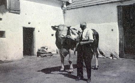S plemenným býkem roku 1942 na svém dvoře