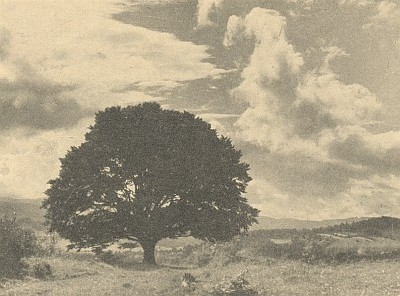 """Dva pohledy na dnes už rozpadlý Stifterův buk, zvaný také """"Machtlbuche"""", u Horní Plané (viz i Arthur Fischer-Colbrie)..."""