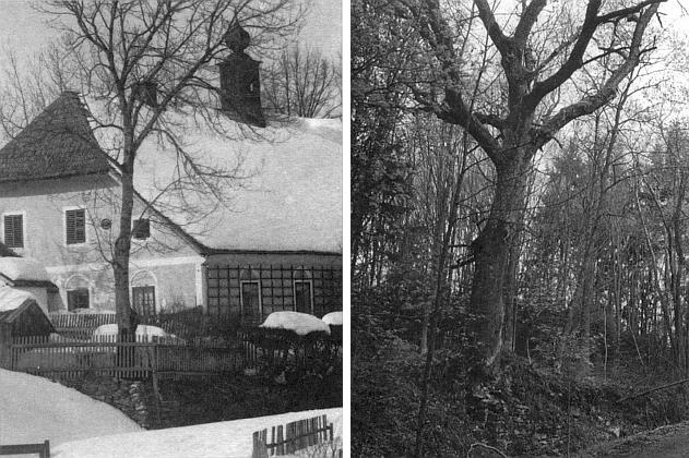 Velký jasan nad plavebním kanálem mezi panským domem a domem čp. 2 na snímcích z roku 1931 a 1999