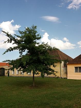 Mladý dub, který zasadil na litvínovické návsi, v roce 2010 a 2017