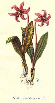 Titulní ilustrace ke knize Antona Tannicha Flora von Böhmen (1928) nese jeho signaturu