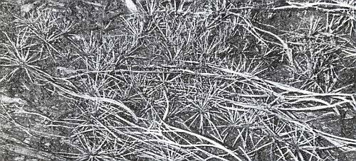 Šídlatka z Plešného jezera - foto A. Tannich 1935