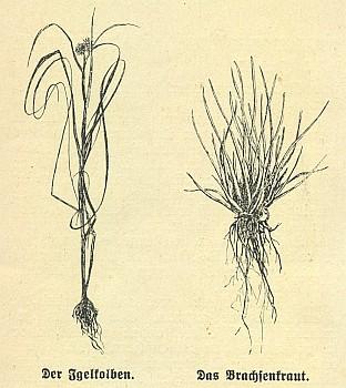 Kresby zachycující zevar úzkolistý a šídlatku jezerní k anonymnímu článku o dvou vzácných rostlinách Černého jezera v měsíčníku Waldheimat