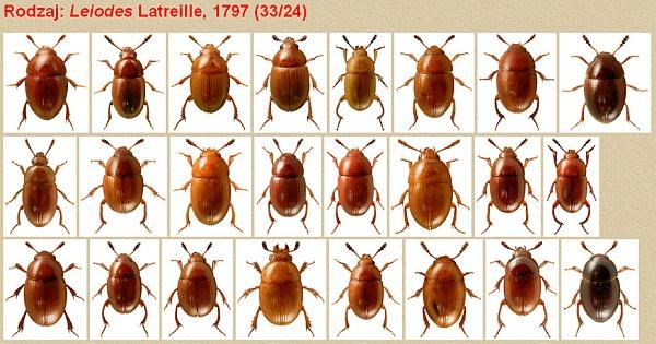 Tito brouci byli předmětem jeho zkoumání - podrod Leiodes Latreille