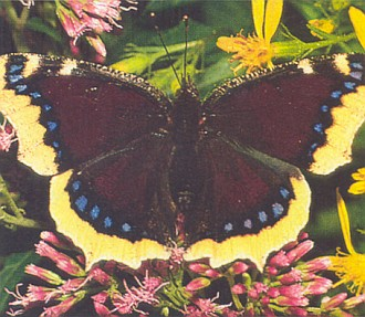 """Motýl černopláštník z jeho """"stifterovské prózy"""" saje prý rád """"mízu ze stromových jizev"""""""