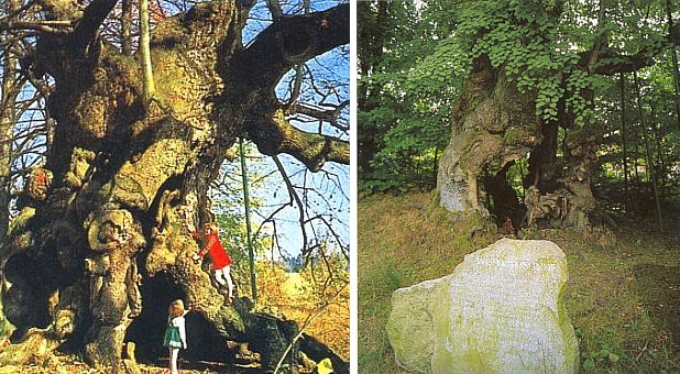 Wolframova lípa u hradu Haidstein