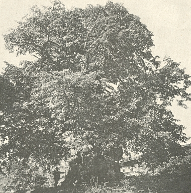 Lípa v plné mohutnosti na snímku doprovázejícím článek Ingeborg Seyfertové o přírodních pamětihodnostech Bavorského lesa